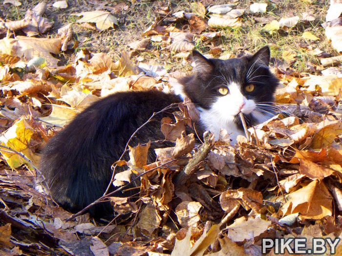 Молодеченский кот