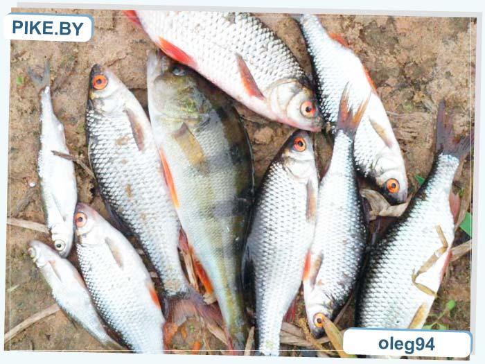 река Птичь рыбалка