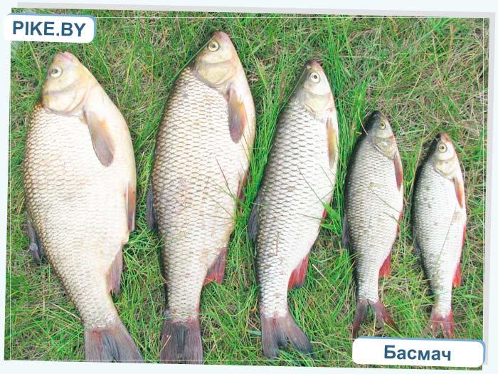 Неман рыбалка