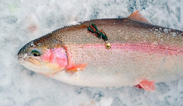 Форель: особенности зимней рыбалки