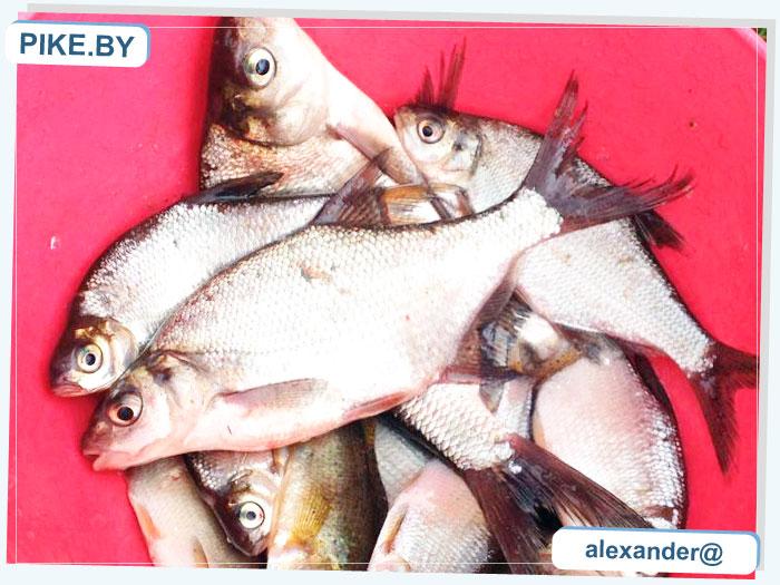 Рыбалка на Западной Двине ЛЕТОМ
