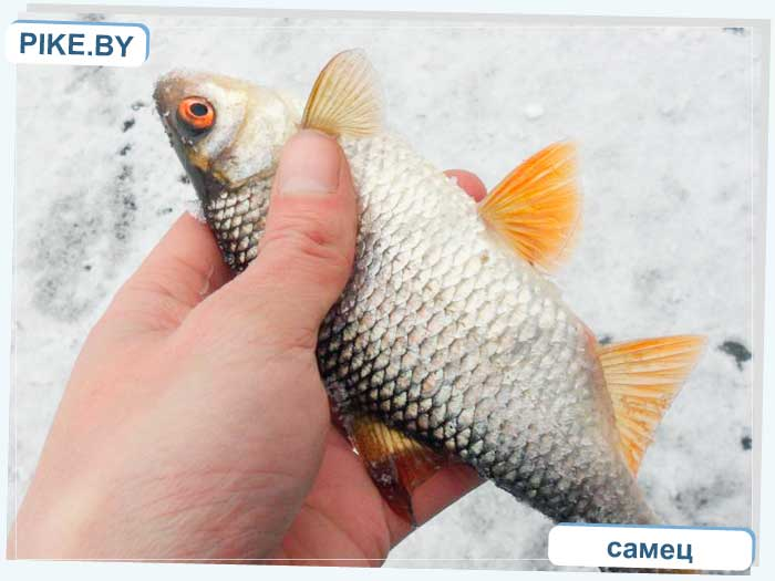 Рыбалка на Восточной Березине зимой