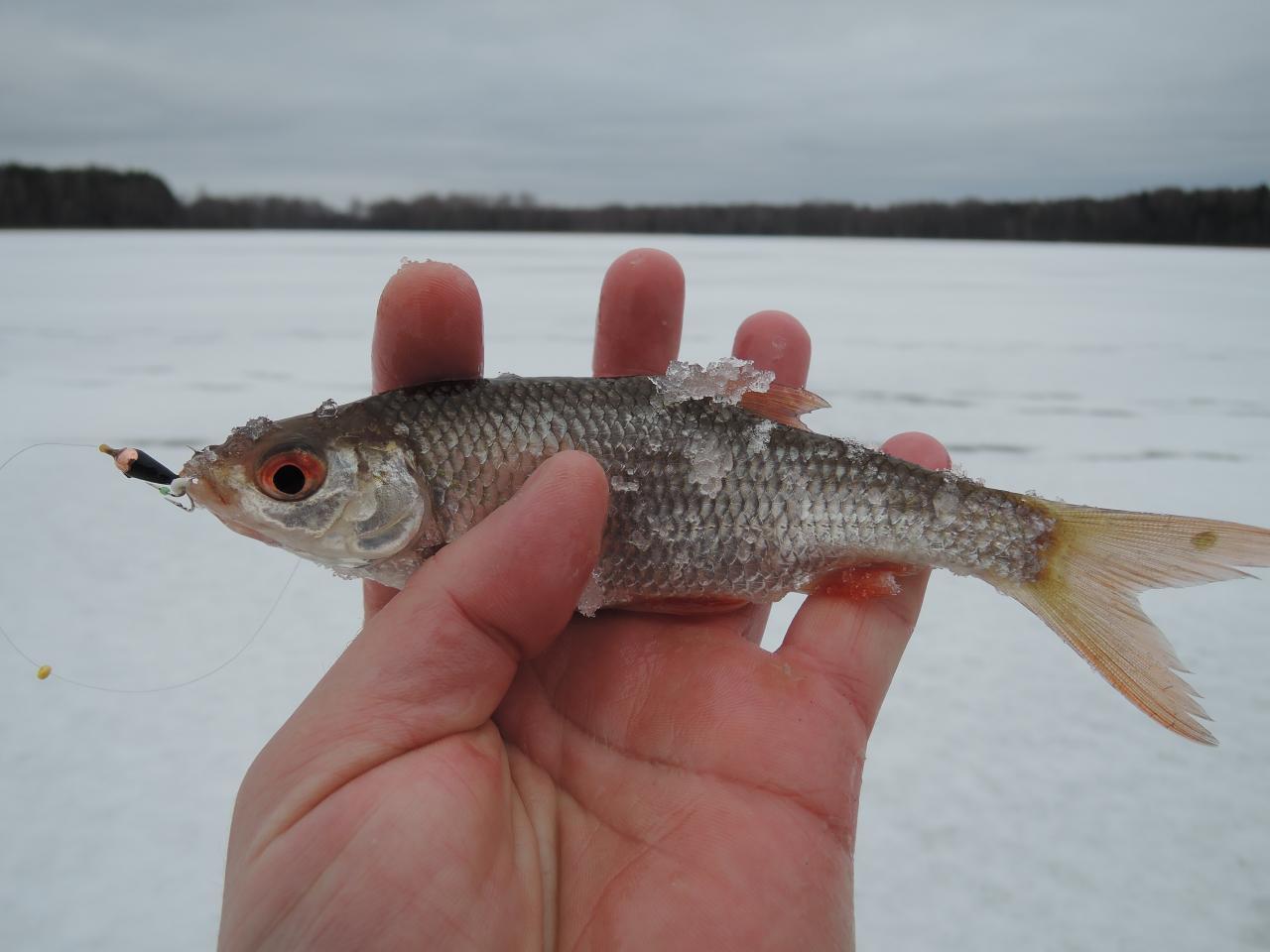 Вчера. Не скажу, что рыбка трудовая была, но ... | Отчеты о рыбалке в Беларуси