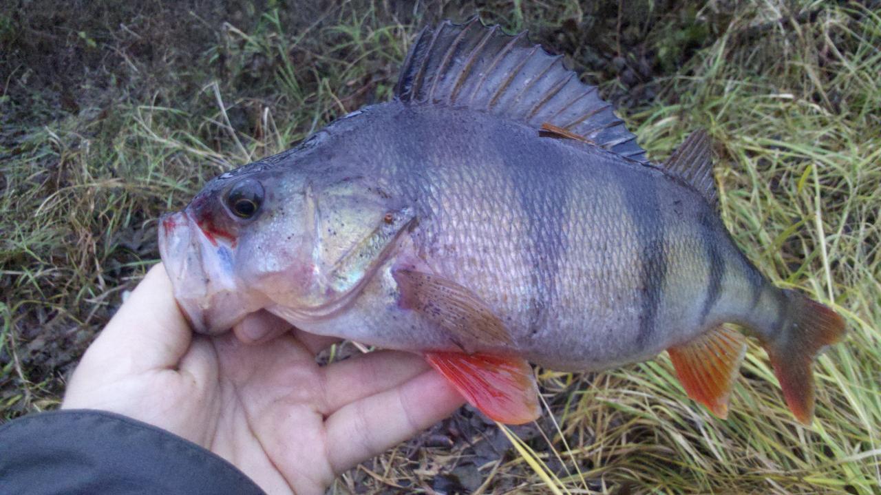 Вчера был на Мухе. 2 рыбы