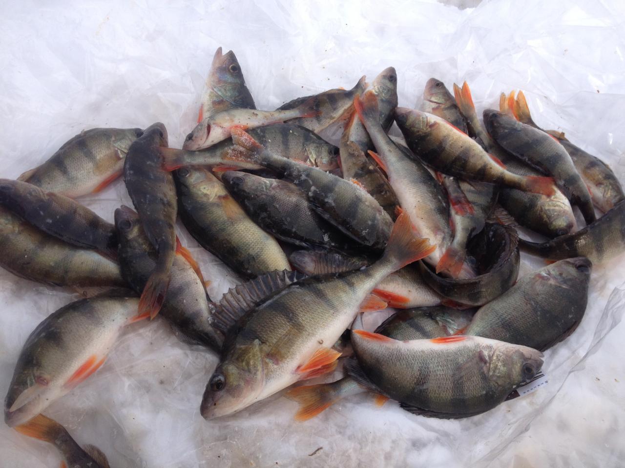 Сегодня решил проверить окуня на прошлом месте.Окунь был ... | Отчеты о рыбалке в Беларуси