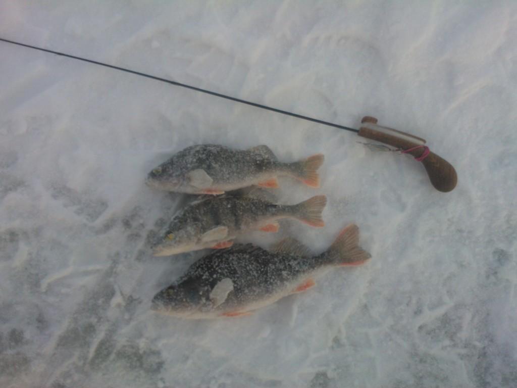 Сегодня выбрались на ВВ в поисках окуня в ... | Отчеты о рыбалке в Беларуси