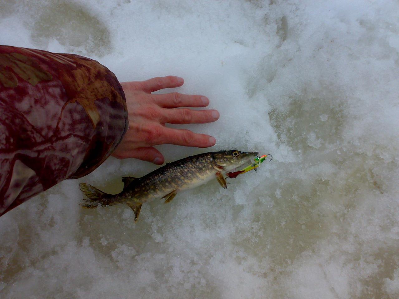 Доброго здоровья всем! Запрет на щуку скоро, вот ... | Отчеты о рыбалке в Беларуси