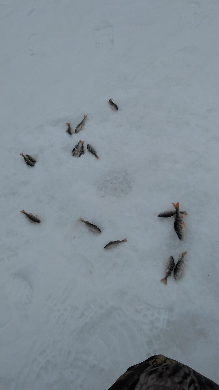 Вчера, район Ратомского залива, пол-дня блеснил, попадались мизинцевые ... | Отчеты о рыбалке в Беларуси