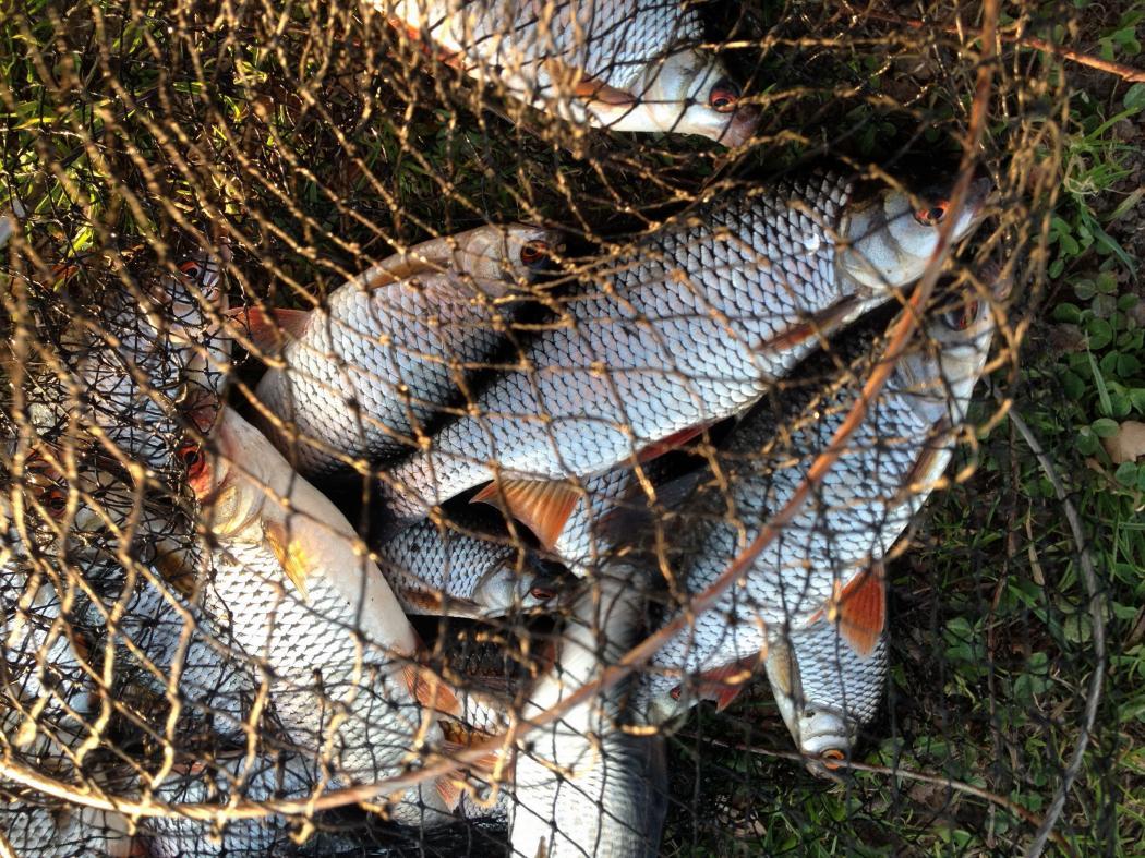 Сегодня опять за плотвой. Был с 9 до ... | Отчеты о рыбалке в Беларуси