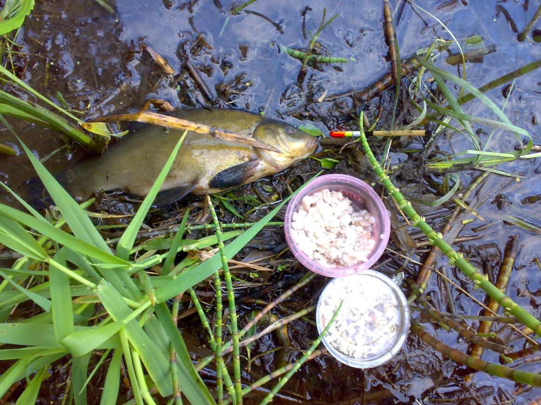 Вчера на Вячу вечером выбрался, закормить чтоб точку на линя ... | Отчеты о рыбалке в Беларуси