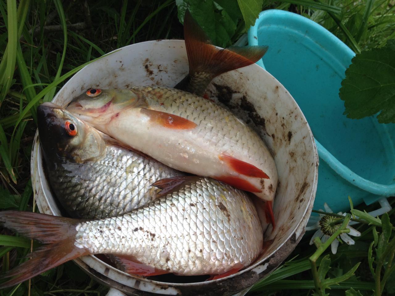 Вчера как и планировал, проехал вечерком проверить плотву.Решил ... | Отчеты о рыбалке в Беларуси