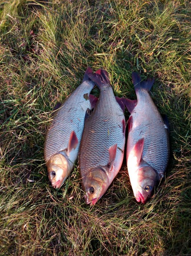 Сегодня посетил Неман в Любче,ловил как обычно на ...   Отчеты о рыбалке в Беларуси
