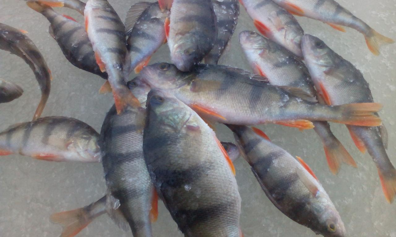 Сегодня наконец открыл сезон твердой воды. Приехали утром ... | Отчеты о рыбалке в Беларуси
