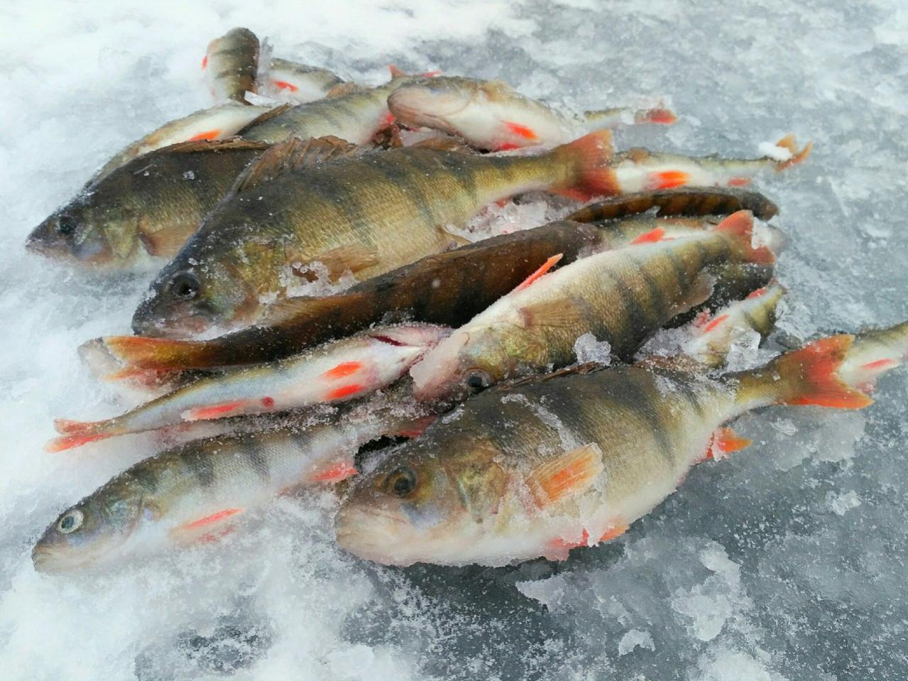 Вчерашнее посещение оставило больше вопросов чем ответов ,ОКУНЬ ... | Отчеты о рыбалке в Беларуси
