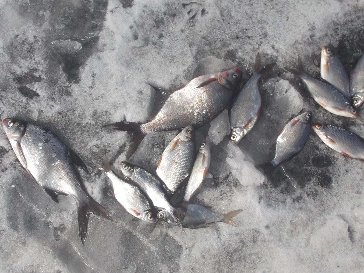 был вчера.погода чудная,лёд крепкий,но утром (до12)качали воду из ... | Отчеты о рыбалке в Беларуси