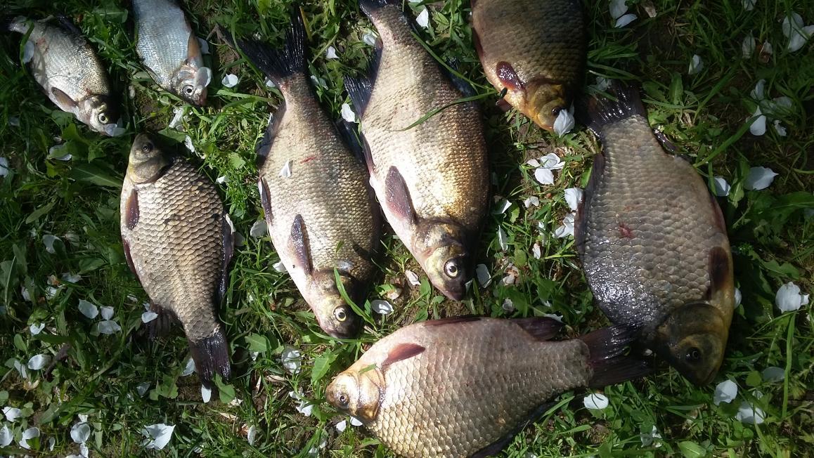 Сегодня утром еще раз наведался на разливы.Рыбалка скажу ... | Отчеты о рыбалке в Беларуси