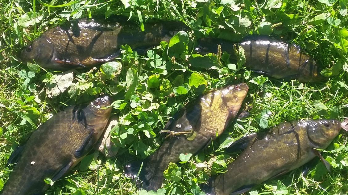 Думал сегодня съездить на трофейного линя, но по ... | Отчеты о рыбалке в Беларуси