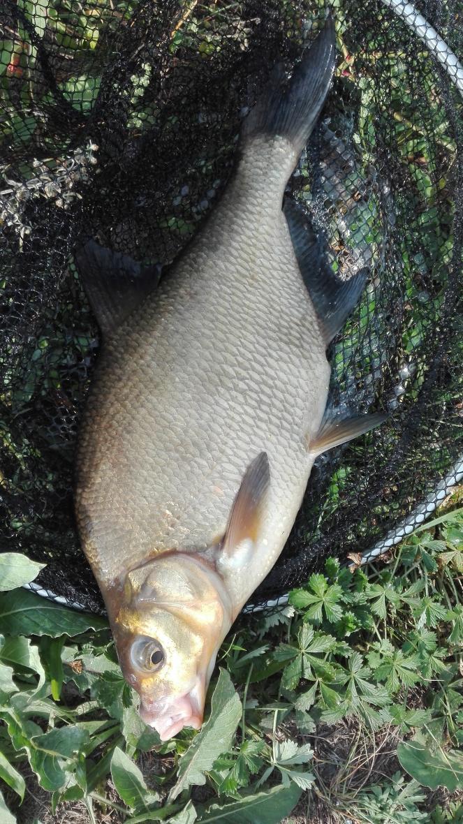 сегодня в районе Бульковского моста. с утра лещ ... | Отчеты о рыбалке в Беларуси