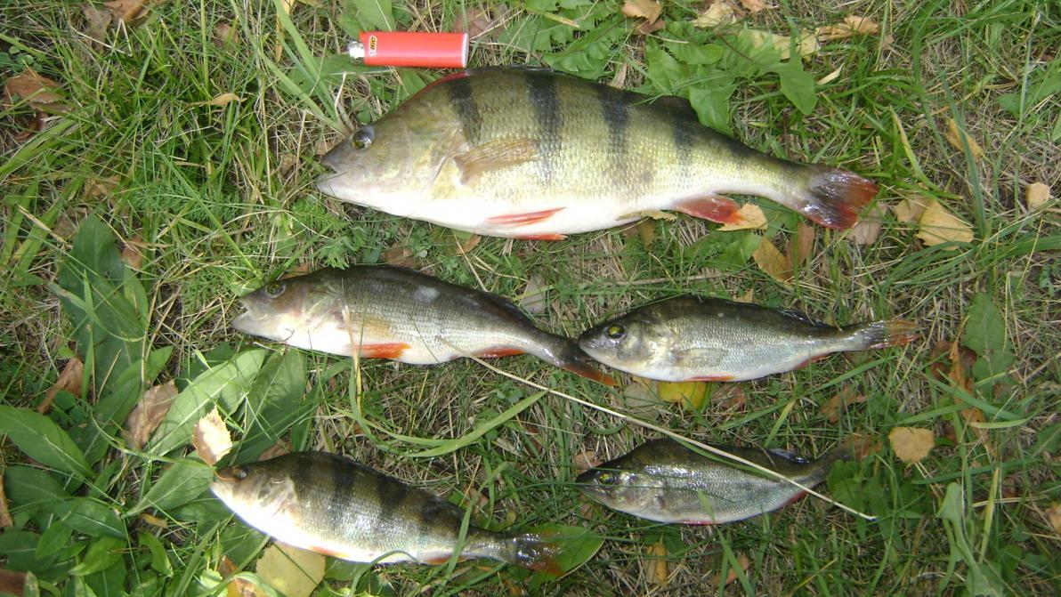 Сегодня с напарником решили постучаться к полосатым разбойникам ... | Отчеты о рыбалке в Беларуси