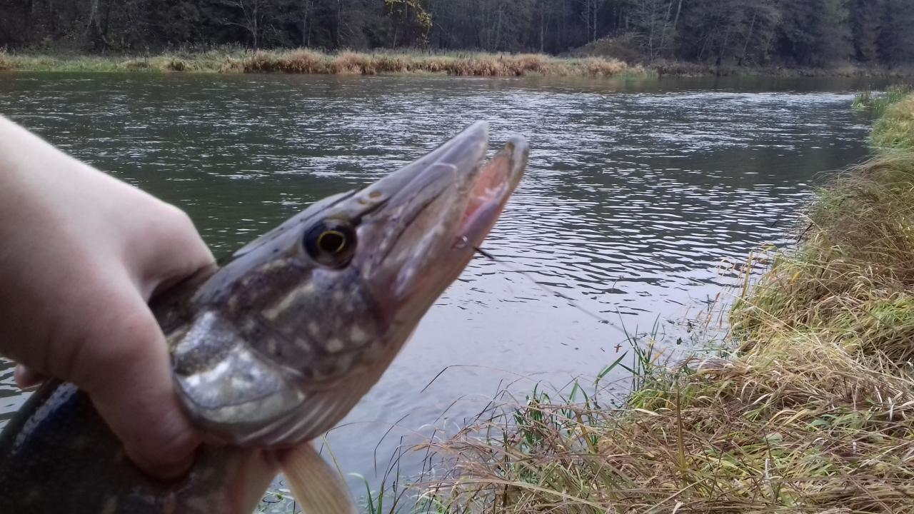 Сегодня пробежался по знакомым местам, щука по прежнему ... | Отчеты о рыбалке в Беларуси