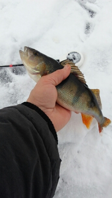 Порыбачил вчера на Вяче, заходил на лед со ...   Отчеты о рыбалке в Беларуси