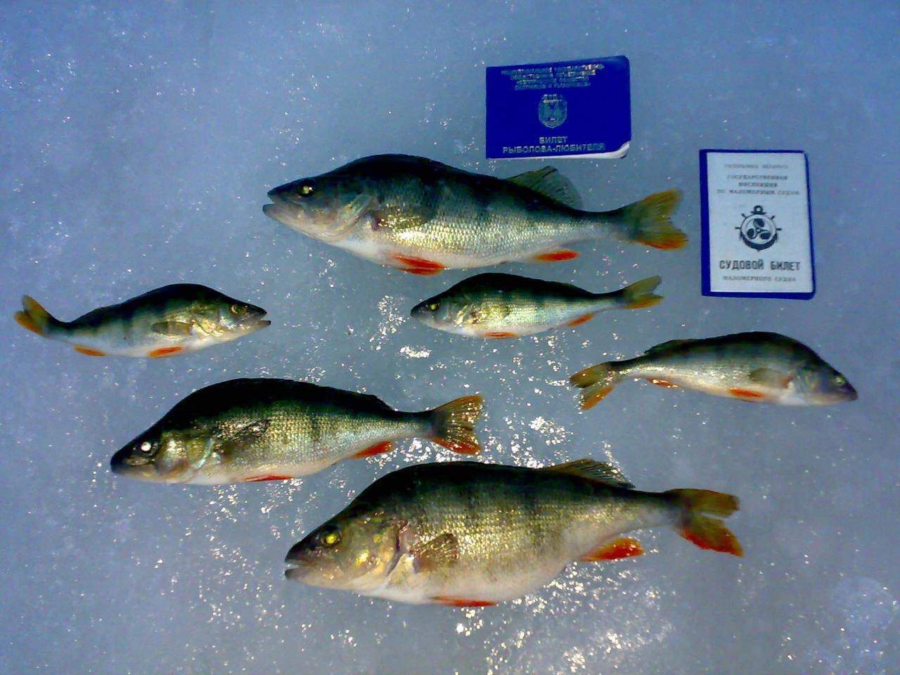 Сегодня окунь на Вилейском суперкоматозный, мегапассивный и гипертрудовой ... | Отчеты о рыбалке в Беларуси