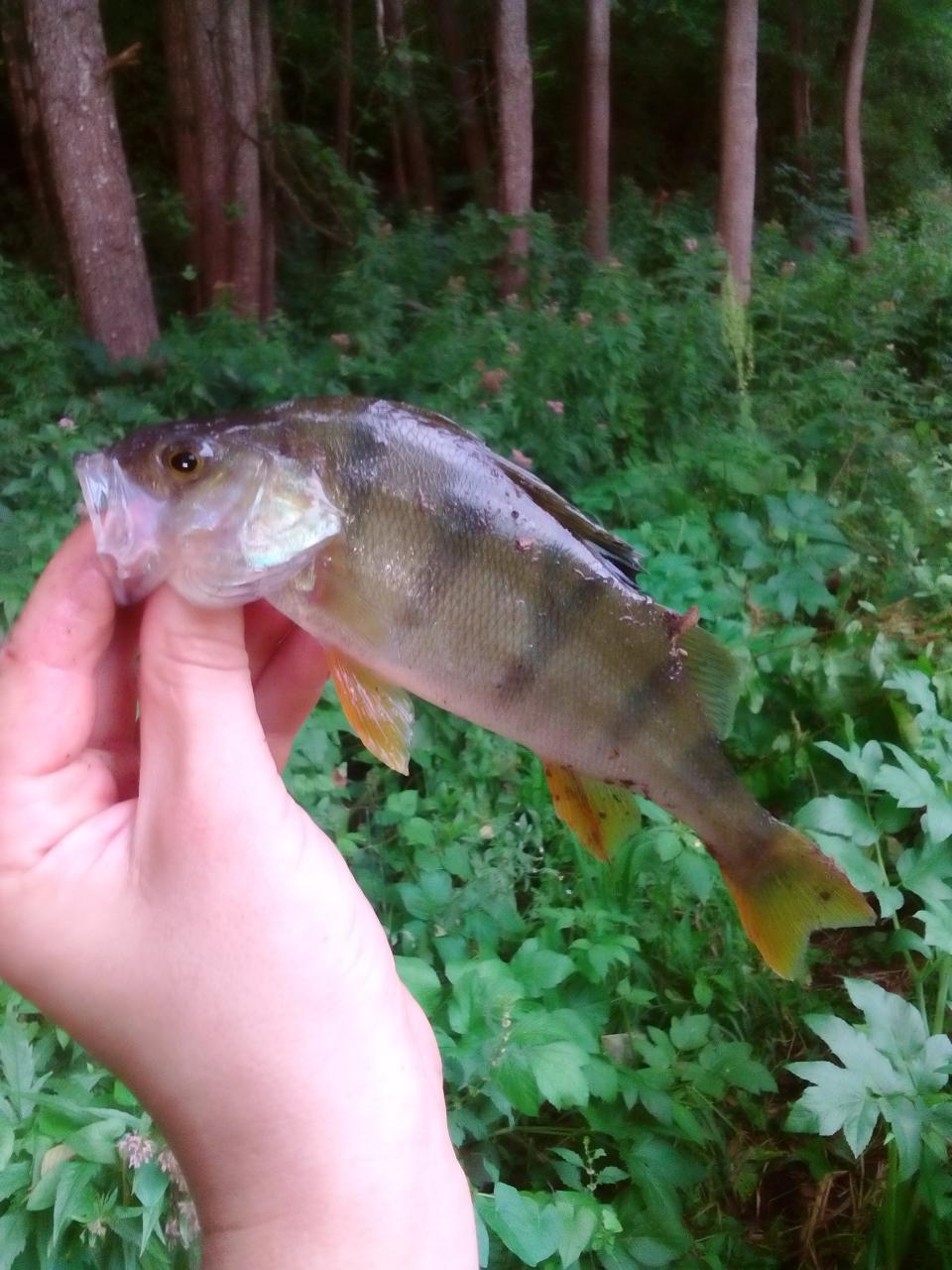 Вчера вечером немного порыбачил. Первая поклевка буквально со ... | Отчеты о рыбалке в Беларуси