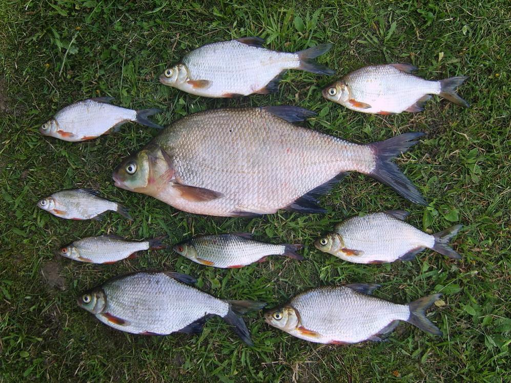 Выбрались на реку с фидерами проверить местного леща ... | Отчеты о рыбалке в Беларуси