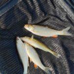 Рыбачил с друзьями в воскресенье на плесе ниже д.Прибор