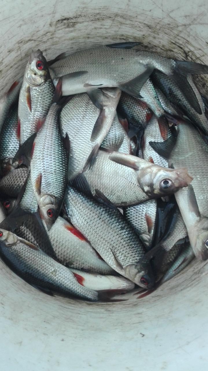Не выдержал: продрался в зимнюю стоянку рыбов.Она на ... | Отчеты о рыбалке в Беларуси