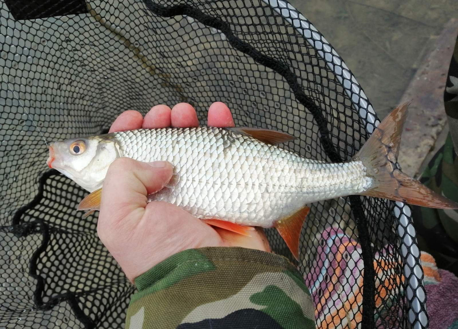 Ну здравствуй, зима!Половил на зимней речке сегодня. Махом ... | Отчеты о рыбалке в Беларуси