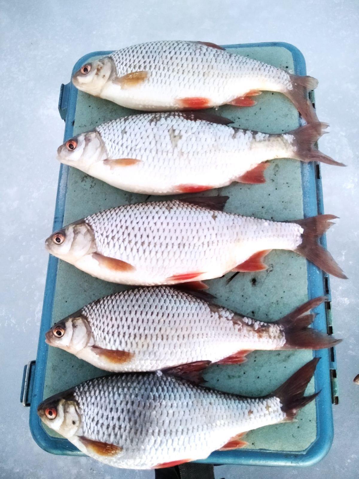 За полдня малехо наковырял. За матерой плотвой приходится ...   Отчеты о рыбалке в Беларуси
