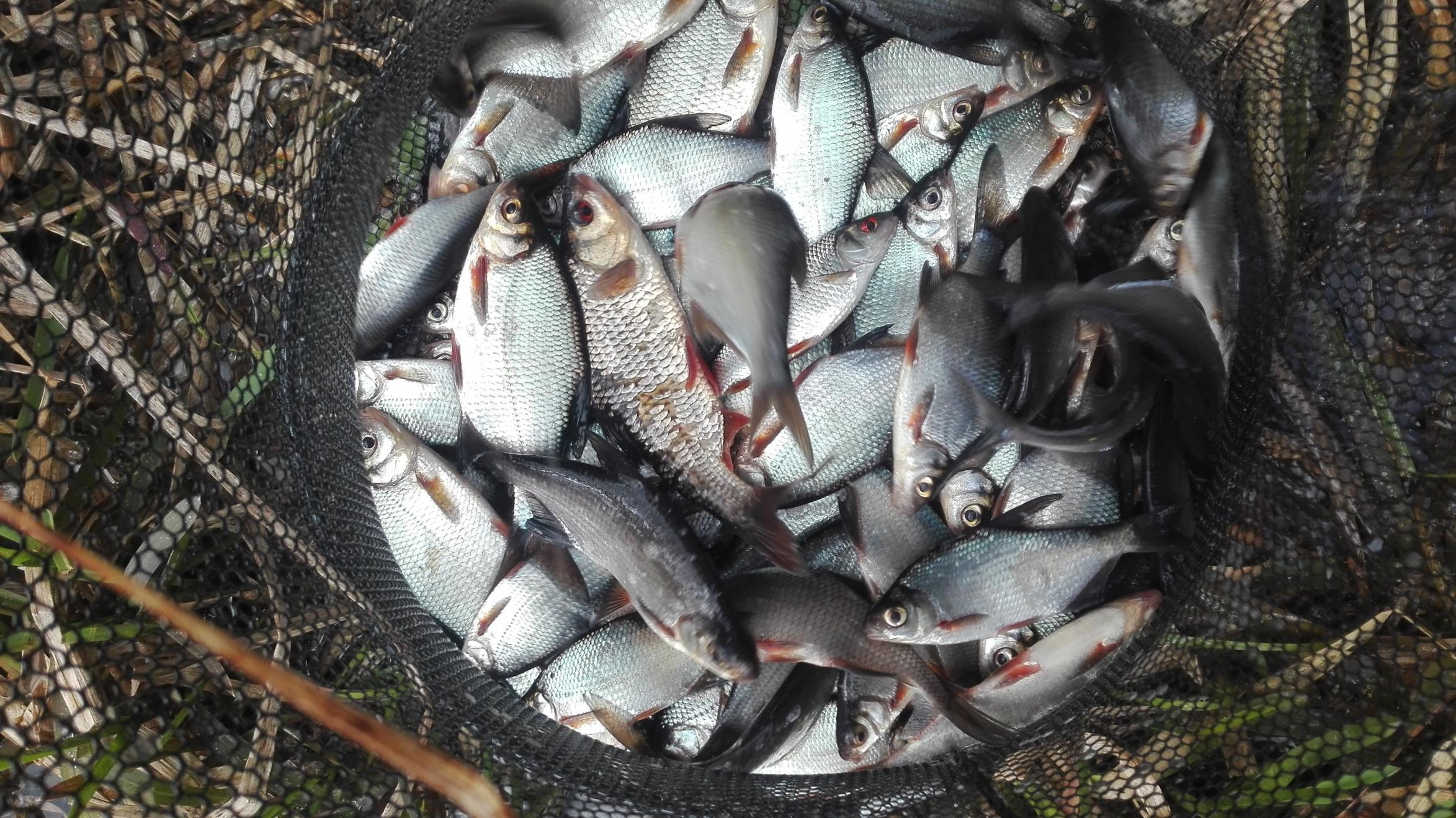 Попрежнему не удалось договориться с крупной густерой. С ... | Отчеты о рыбалке в Беларуси